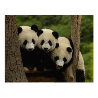Giant panda babies Ailuropoda melanoleuca) 3 Postcard