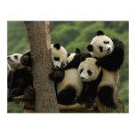 Giant panda babies Ailuropoda melanoleuca) 4 Post Card