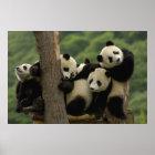 Giant panda babies Ailuropoda melanoleuca) 4 Poster