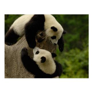 Giant panda babies (Ailuropoda melanoleuca) 5 Postcard