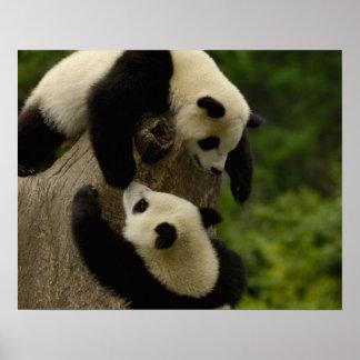Giant panda babies (Ailuropoda melanoleuca) 5 Poster