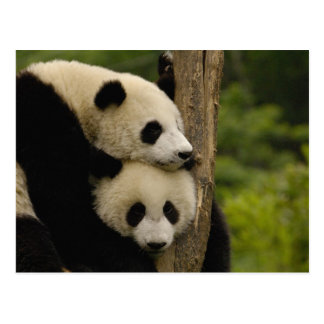 Giant panda babies Ailuropoda melanoleuca) 7 Postcard