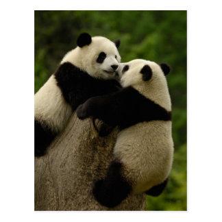 Giant panda babies (Ailuropoda melanoleuca) Postcard