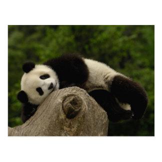 Giant panda baby Ailuropoda melanoleuca) 13 Postcard
