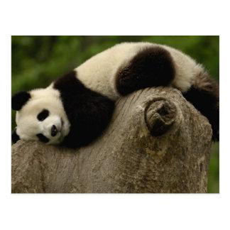 Giant panda baby Ailuropoda melanoleuca) 3 Postcard
