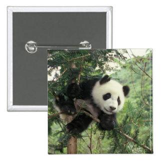 Giant Panda cub climbs a tree, Wolong Valley, 15 Cm Square Badge