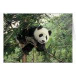 Giant Panda cub climbs a tree, Wolong Valley, Greeting Card
