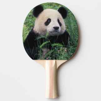 Giant panda in the grass, Wolong Valley, Sichuan Ping Pong Paddle