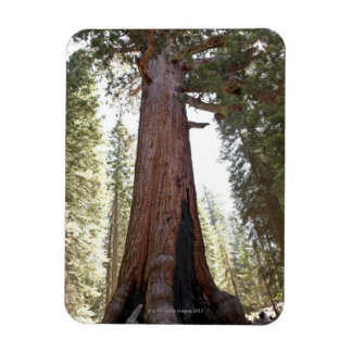 Giant Sequoia in Mariposa Grove in Yosemite Magnet