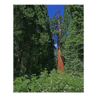 Giant Sequoia Poster