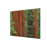 Giant Sequoia trunks in forest, Yosemite Gallery Wrapped Canvas