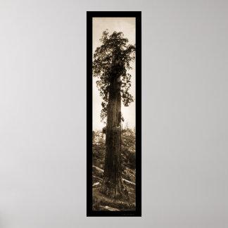 Giant Sequoia Wonder Photo 1915 Poster