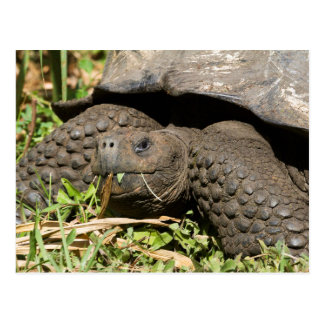 Giant Tortoise Eating | Galapagos Postcard