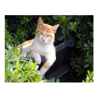 Ginger and White Cat Post Cards