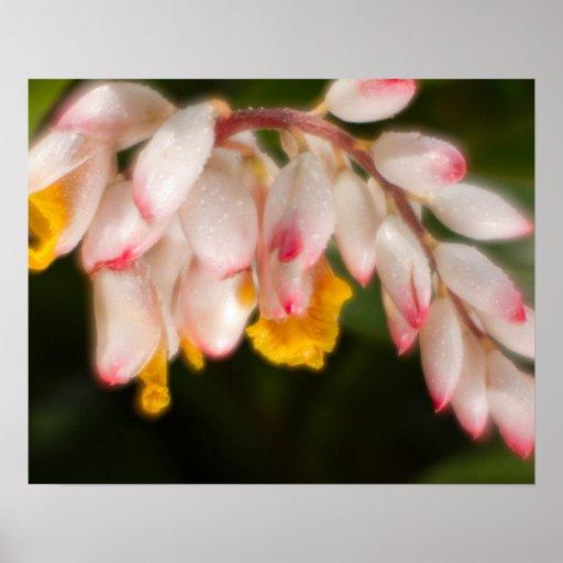 Ginger Shell Flower Poster