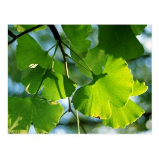Ginkgo Leaves in Summer Postcard