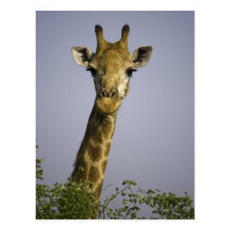 (giraffa camelopardalis), looking at camera, in postcard