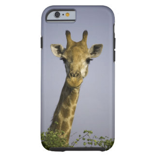 (giraffa camelopardalis), looking at camera, in tough iPhone 6 case