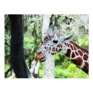 Giraffe Close Up Portrait Postcard
