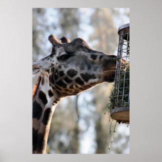 Giraffe eating posters