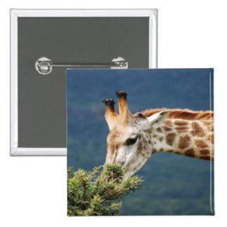 Giraffe eating some leaves buttons