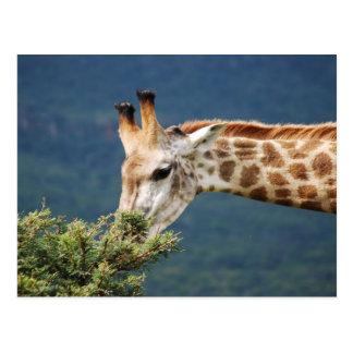 Giraffe eating some leaves postcard