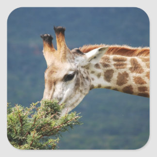 Giraffe eating some leaves stickers