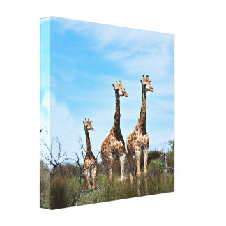 Giraffe Family On Grassy Hilltop Canvas Print