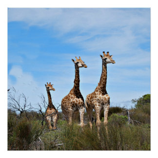 Giraffe Family On Grassy Hilltop Poster