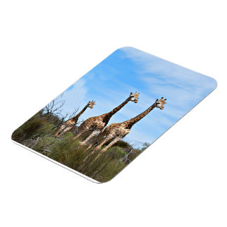 Giraffe Family Rectangular Photo Magnet