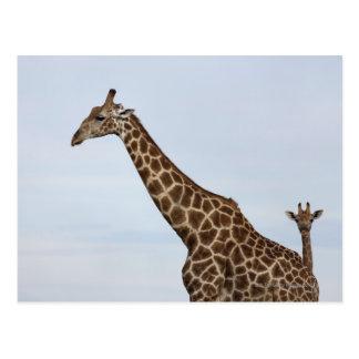 Giraffe (Giraffa camelopardalis), Chobe National Postcard
