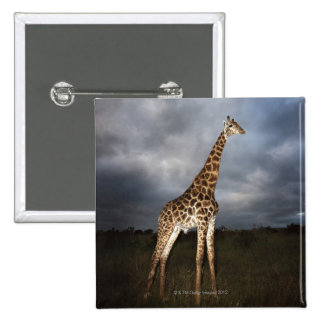 Giraffe (Giraffa camelopardalis) in dramatic 15 Cm Square Badge