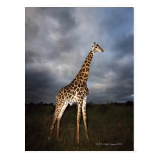 Giraffe (Giraffa camelopardalis) in dramatic Postcard