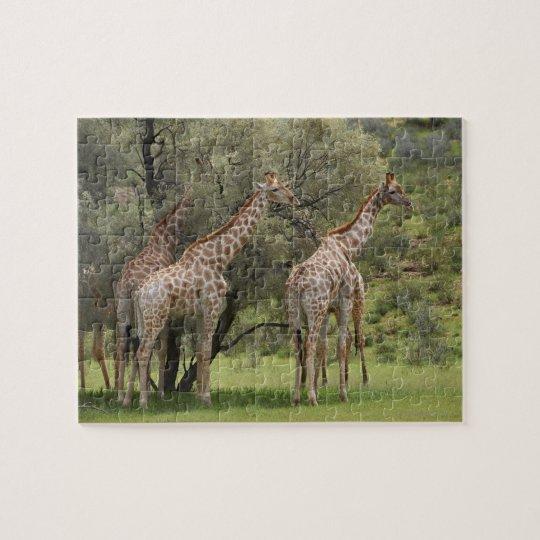 Giraffe, Giraffa camelopardalis, Kgalagadi 2 Jigsaw Puzzle