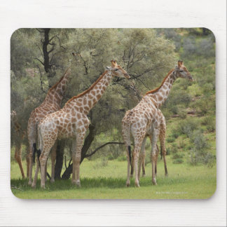 Giraffe, Giraffa camelopardalis, Kgalagadi 2 Mouse Pad