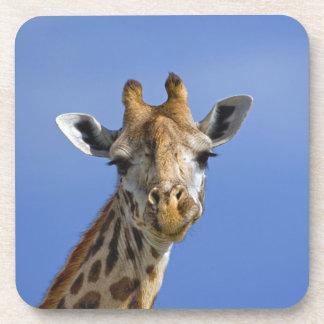 Giraffe, Giraffa camelopardalis tippelskirchi, Drink Coaster