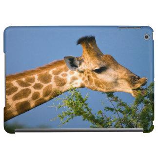 Giraffe (Giraffe Camelopardalis) Feeding