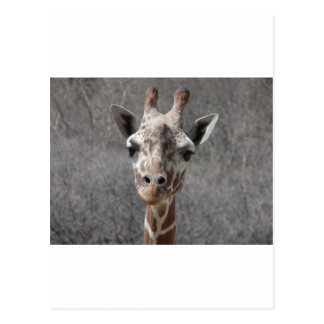giraffe head front view postcard