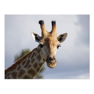 Giraffe in Botswana, Africa, Postcard