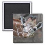 Giraffe  Magnet Magnets