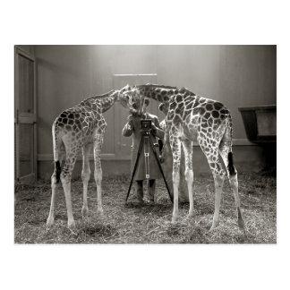 Giraffe Portrait, 1926 Postcard