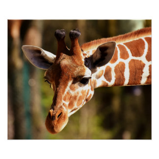 Giraffe Poster - Safari Wildlife Zoo Animals
