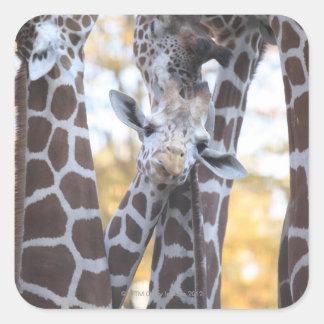 Giraffes at Tama Zoo, Tama Zoo, Tokyo Square Sticker