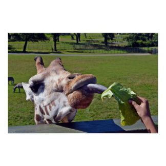 Giraffes... feeding time Poster 2