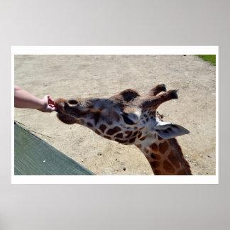 Giraffes... feeding time Poster 3