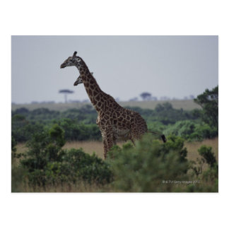 Giraffes in Africa Postcard