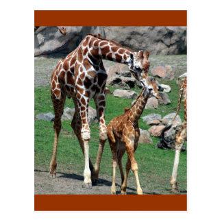 Giraffes Post Card