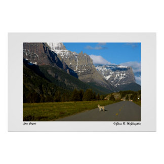 Glacier National Park - Lone Coyote Poster