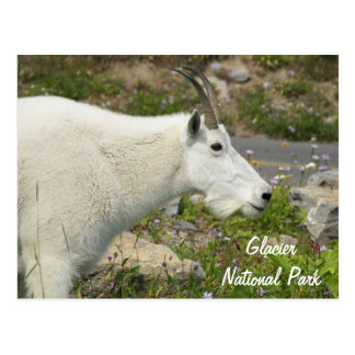 Glacier National Park Mountain Goat Travel Photo Postcard
