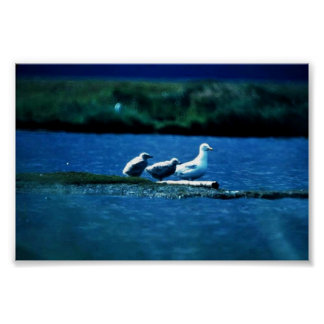 Glacous Winged Gulls Posters